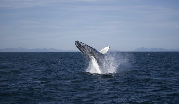 Humpback Whales are the most acrobatic of the great whales found off Reykjavík, in Faxaflói Bay.
