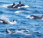 On a whale watching tour from Reykjavík, the luckiest guests will get to see pods of orcas, which are seen several times a year.