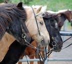 Icelandic horses, saddled up and ready to go.