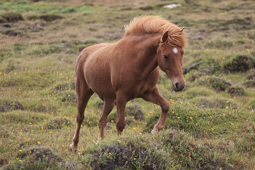 Icelandic horses are perfectly adapted for the harsh conditions of Iceland's weather and terrain.