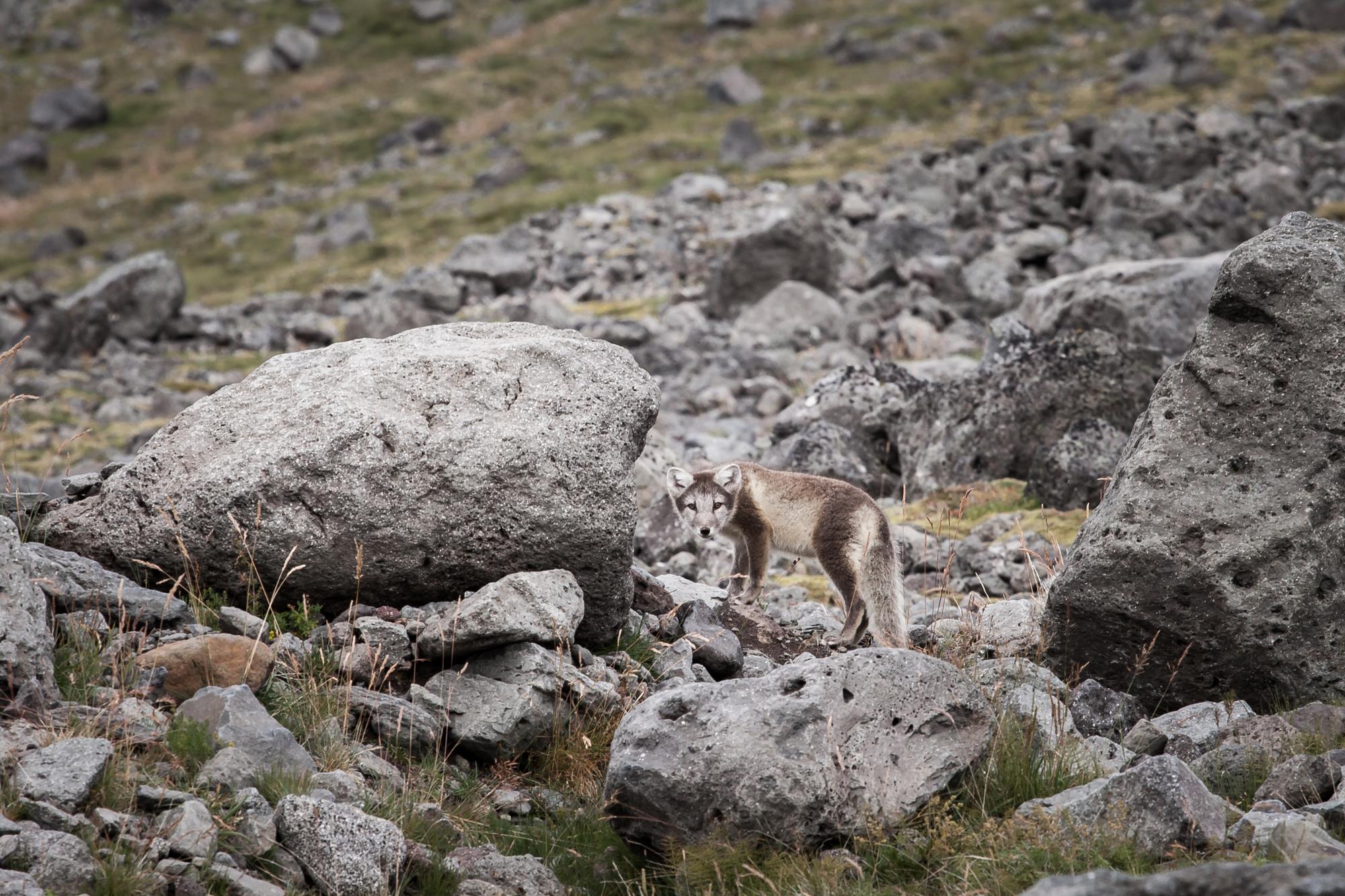 Le renard arctique a un pelage de camouflage en été et en hiver pour ne pas se faire remarquer.