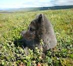 Un jeune Renard polaire se prélassant dans l'herbe verte et douce des Fjords de l'Ouest islandais.