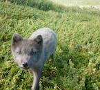 Ce petit renard arctique n'est pas timide avec l'appareil photo, alors préparez-vous à une photographie passionnante de la faune.