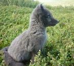 Ce renard arctique fait son apparition à courte distance