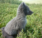 This Arctic Fox pup looks thoughtfully into the distance.