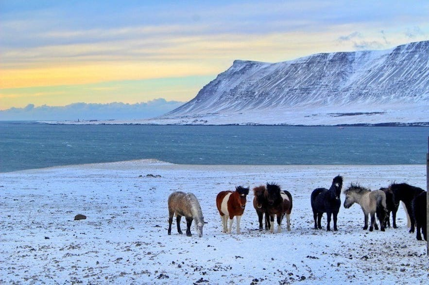 Horses in Hvalfjordur (Whale Fjord) during wintertime in Iceland