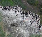 Les macareux nichent par milliers sur l'île de Drangey, dans le nord de l'Islande, en été.