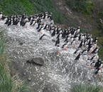 Puffins nest in their thousands on Drangey Island in north Iceland in summer.