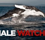 Whale watching is one of the most popular activities available to visitors in Iceland.