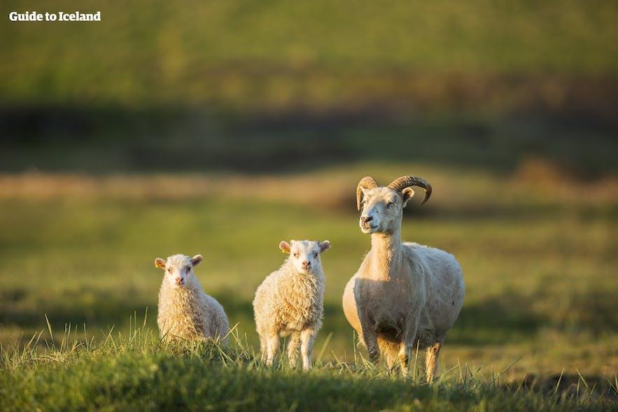 かわいいアイスランドの羊