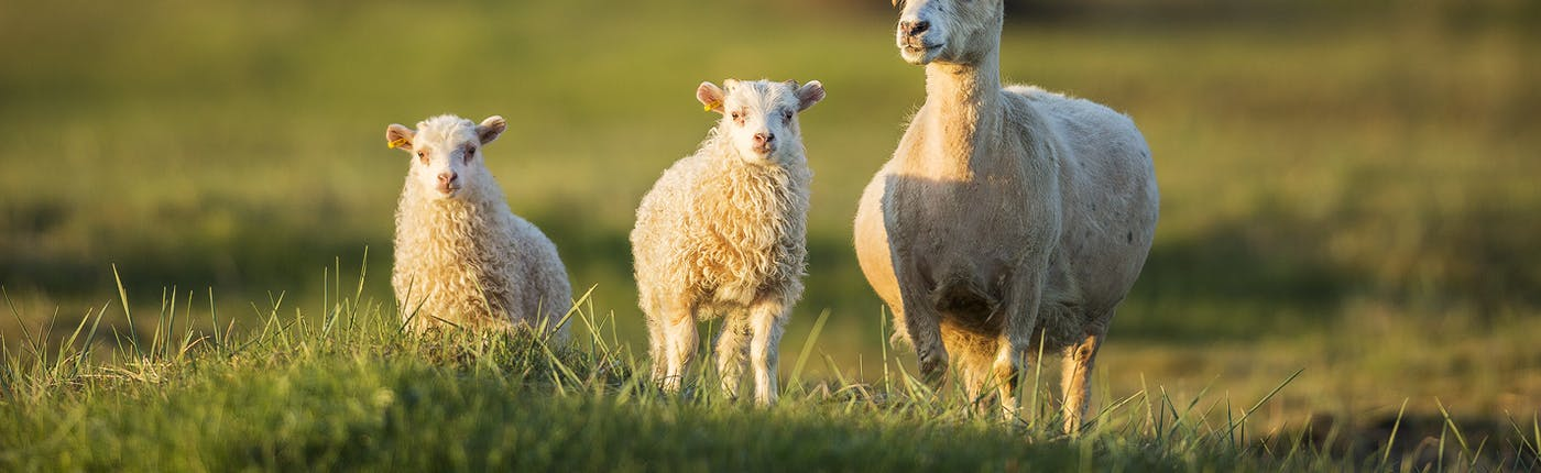Icelandic sheep outnumber Iceland's population