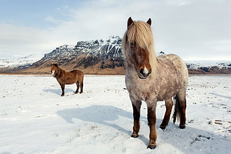 Icelandic horses in their thick winter coats, in the wild landscapes of East Iceland.