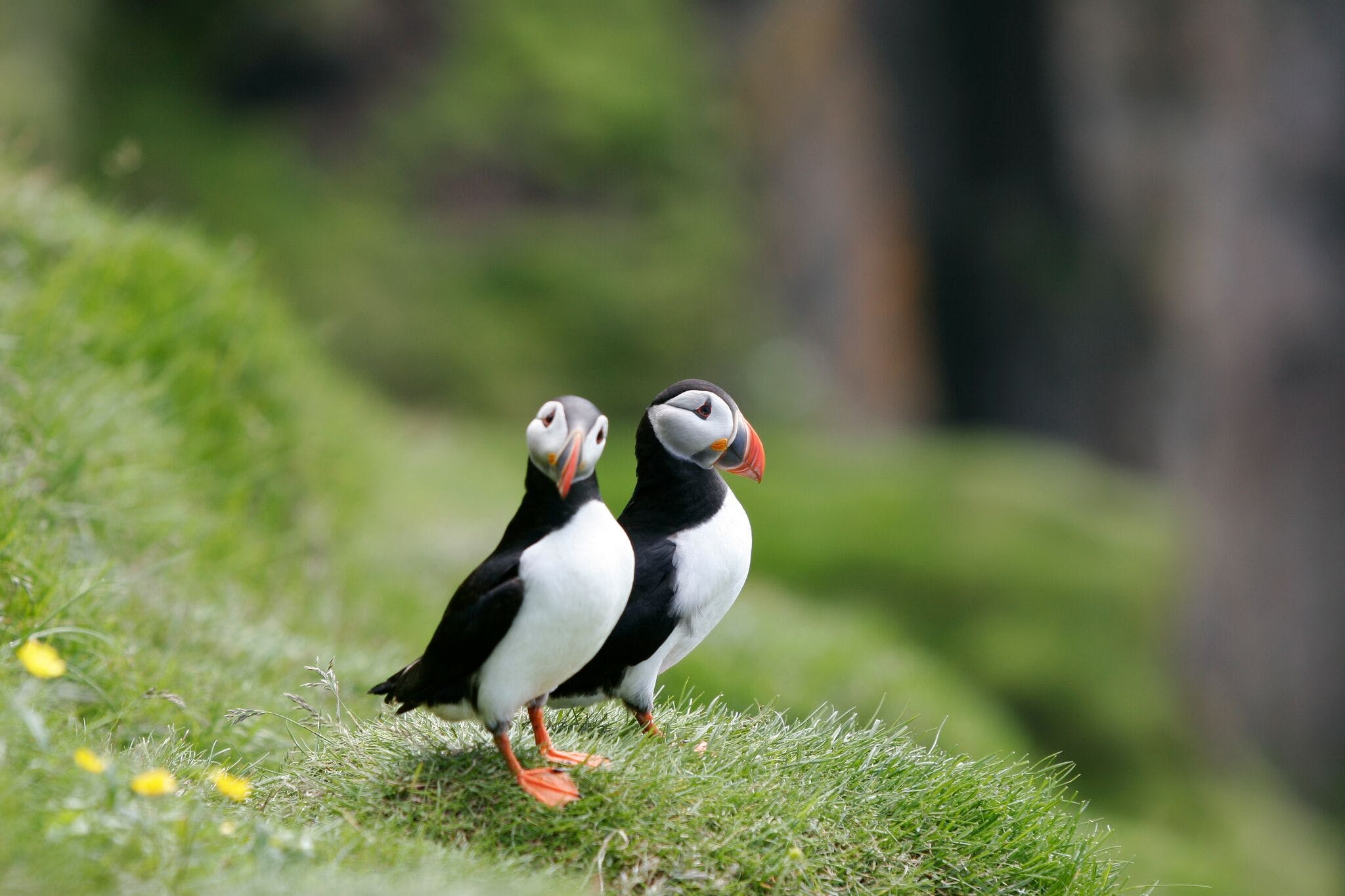 Puffin Watching