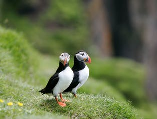 Puffin Watching From Reykjavik Old Harbour