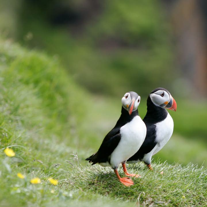 Puffins mate for life, so are usually seen as an adorable couple when on land.