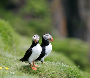 Puffin & Bird Watching | from Reykjavík's Old Harbour