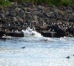 Les macareux se rassemblent au bord des îles de la baie de Faxaflói.