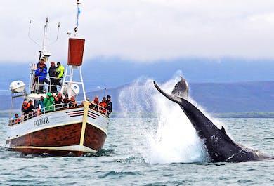 Avistamiento tradicional de ballenas en Húsavík