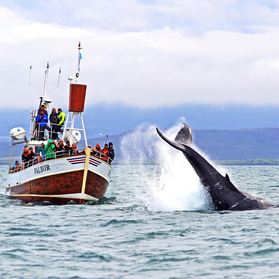 船の近くにやってくるザトウクジラ