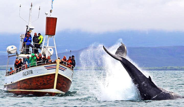 Традиционный тур по наблюдению за китами из Хусавика