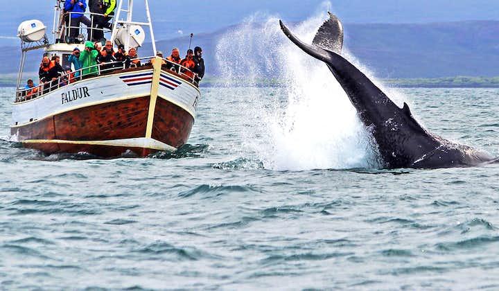 Tradycyjna 3-godzinna wycieczka łodzią z obserwacją wielorybów i z transferem z Husaviku