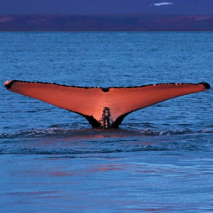 Die Flosse eines Wales ragt aus dem Wasser - ein toller Anblick bei einer Walbeobachtung in Nordisland.