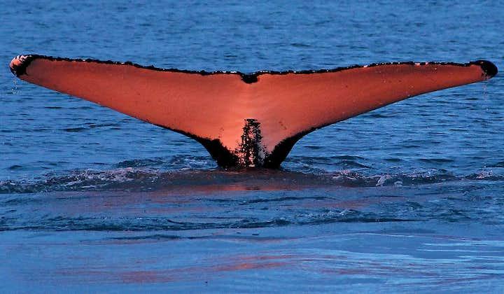 En pukkelhval, der dykker i midnatssolen