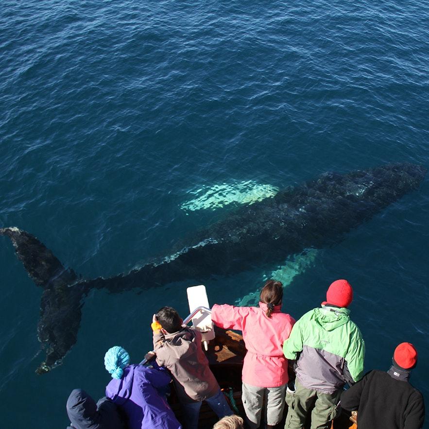 冰岛胡萨维克小镇近距离赏鲸