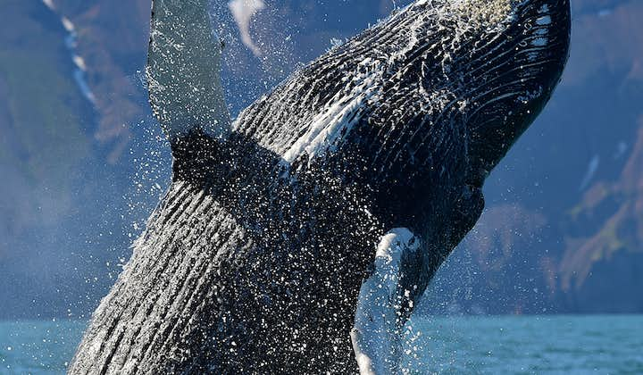 The sight of Humpback Whale breaching is awe-inspiring.