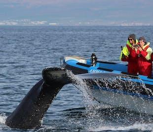Avistamiento de ballenas y frailecillos | Tour en lancha desde Húsavik
