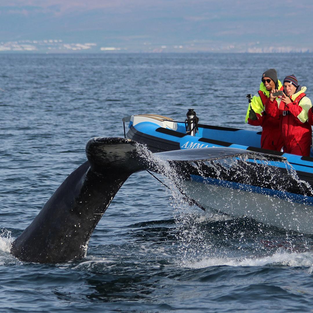 På den här småbåtsturen från Húsavík blir det tydligt varför staden betraktas som Europas bästa valskådningsplats.