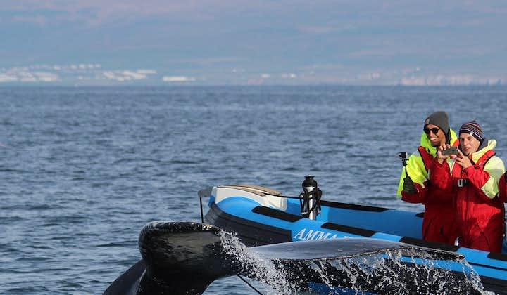 Spektakularny 2,5-godzinny rejs łodzią RIB z obserwacją wielorybów i maskonurów z transferem z Husaviku