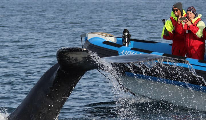Тупики и киты   Экскурсия на лодке РИБ из Хусавика