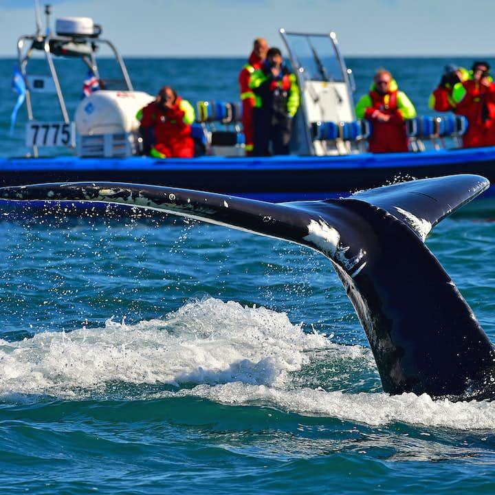 En verano, los avistamientos de ballenas de Húsavík a menudo tienen tasas de éxito del 100%.