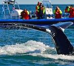 Wycieczki oglądania wielorybów z Husaviku latem mają 100% skuteczność.