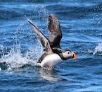 Les macareux sont de meilleurs nageurs et décoller est toujours une affaire maladroite.