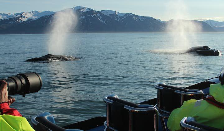Et par knølhvaler puster ut etter et langt dykk.