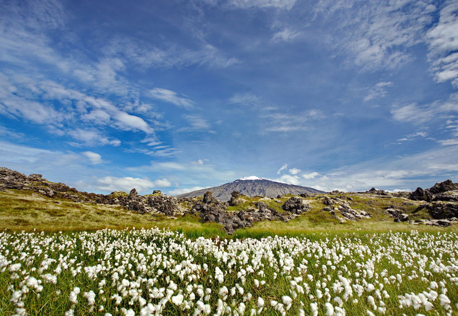 The Snæfellsnes Peninsula in summer has many fields of diverse wildflowers.