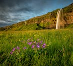 Seljalandsfoss tumbling from a cliff and landing amongst fields of grass and wildflowers.