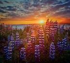 繁殖力の強いルピナスがアイスランドの荒れ地を青く彩る