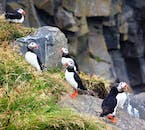 Puffins nest in the rocks and cliffs of Dyrhólaey peninsula.