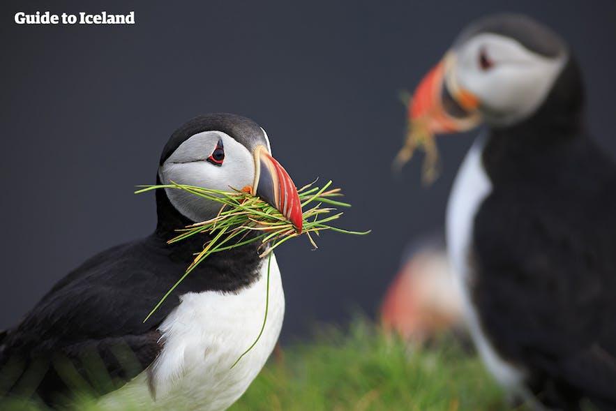 アイスランドの夏でしか出会えないパフィン鳥