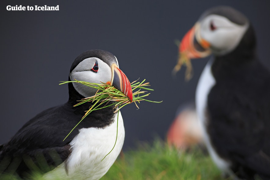 Puffin season in Iceland