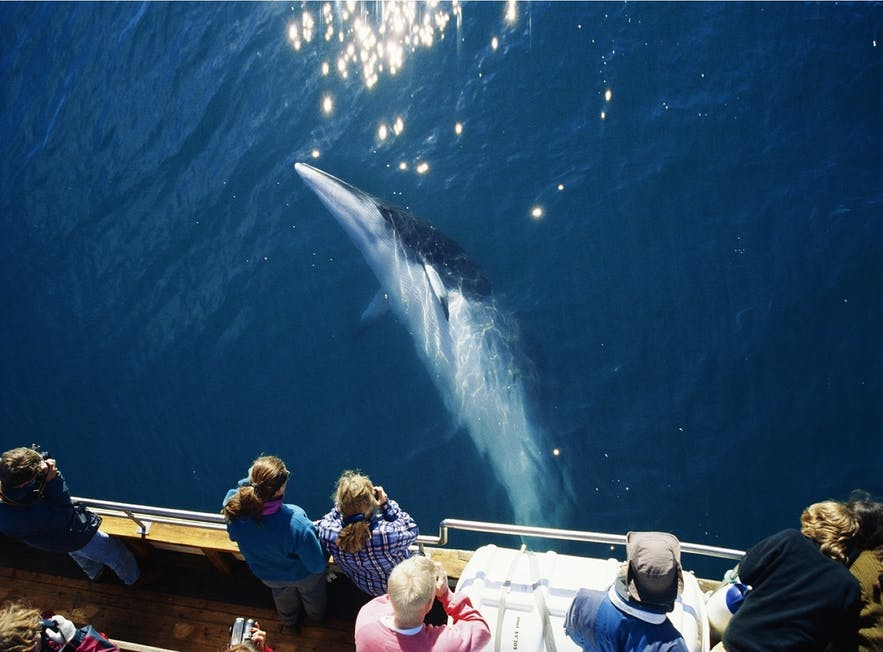 Check out a whale watching tour to see the wealth of marine life that resides in Iceland's waters.