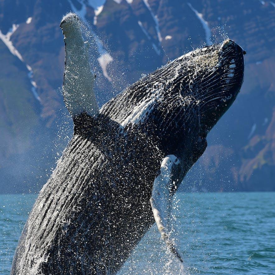 Une baleine faisant une acrobatie dans les eaux islandaises