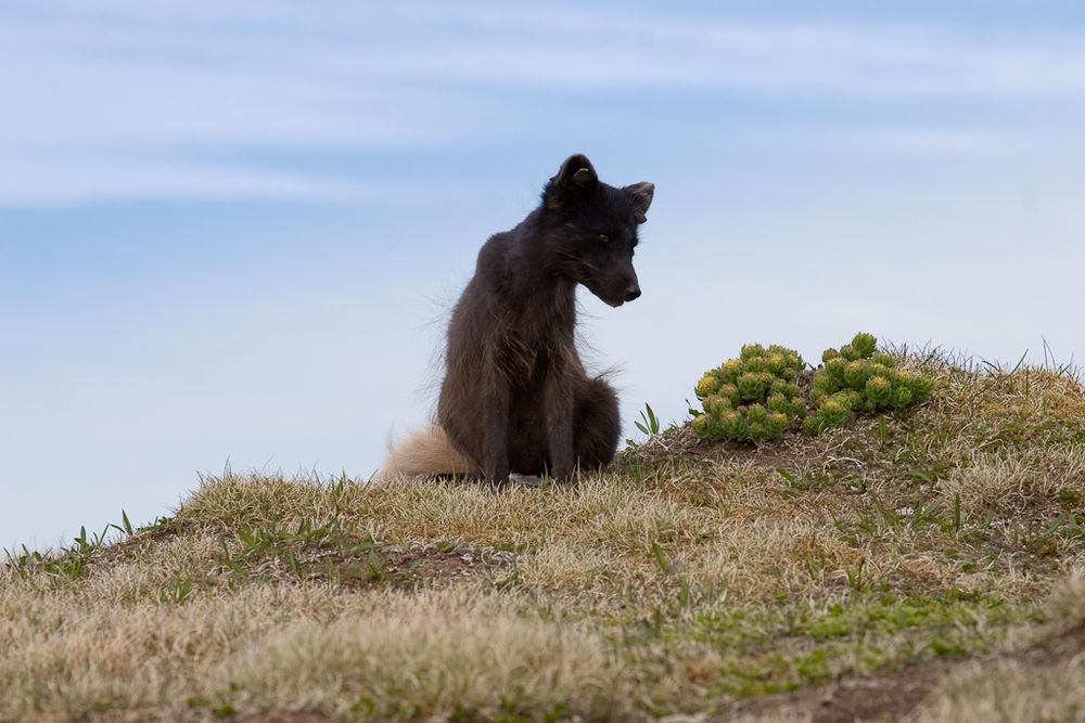 จิ้งจอกอาร์กติกในฮอร์นสตรานดิร์มีความว่องไวปราดเปรียวแต่ไม่กลัวคน