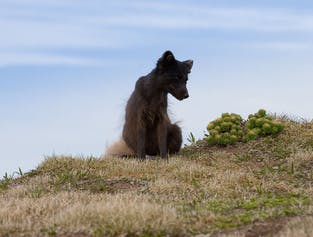 3 Days in the Westfjords | Arctic Foxes & Midnight Sun