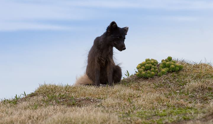 Arctic Foxes are elusive but unafraid of people in Hornstrandir in the Westfjords.