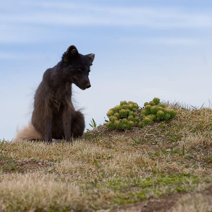 西峡湾三日游 豪斯川迪尔自然保护区:北极狐与午夜阳光