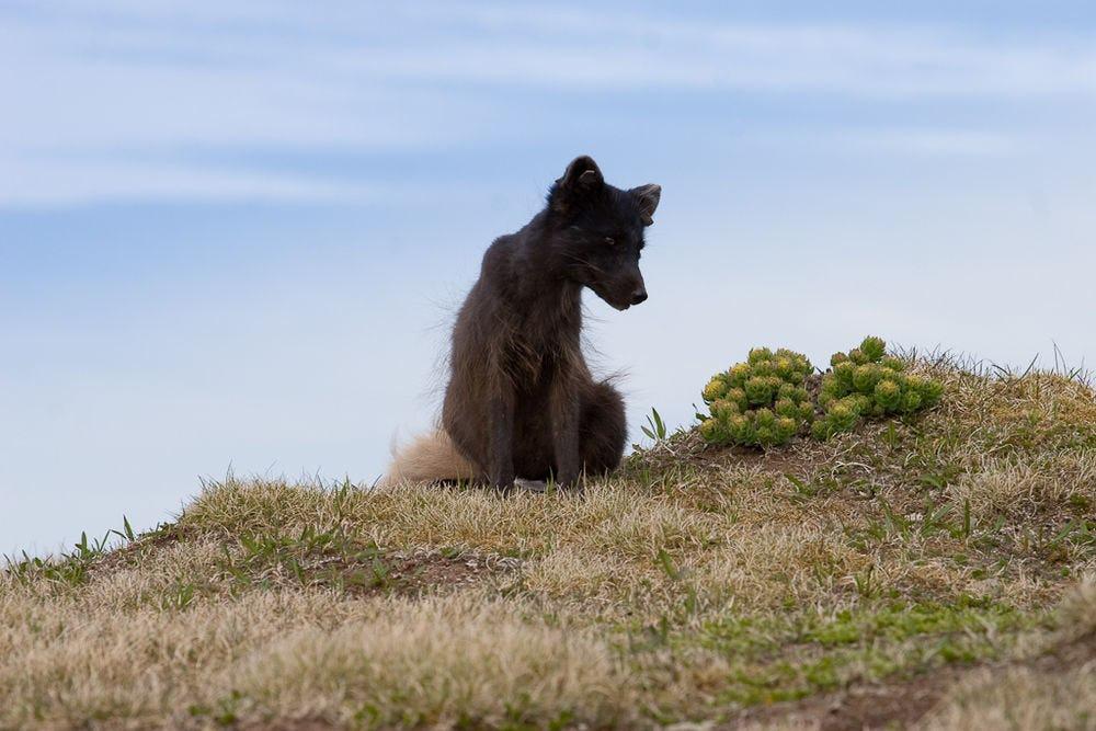 Lisy polarne żyjące w Hornstrandir na Fiordach Zachodnich nie boją się ludzi